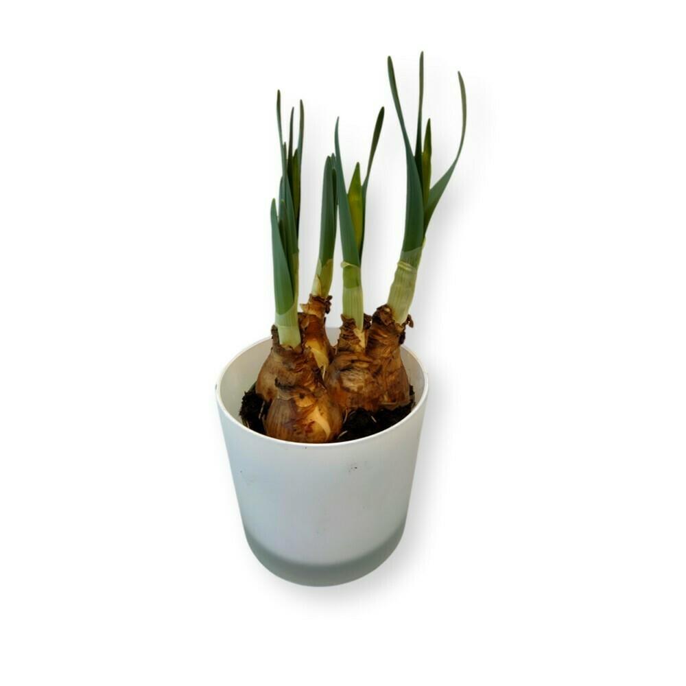 Narzissen Osterglocken gelb 'Narcissus '