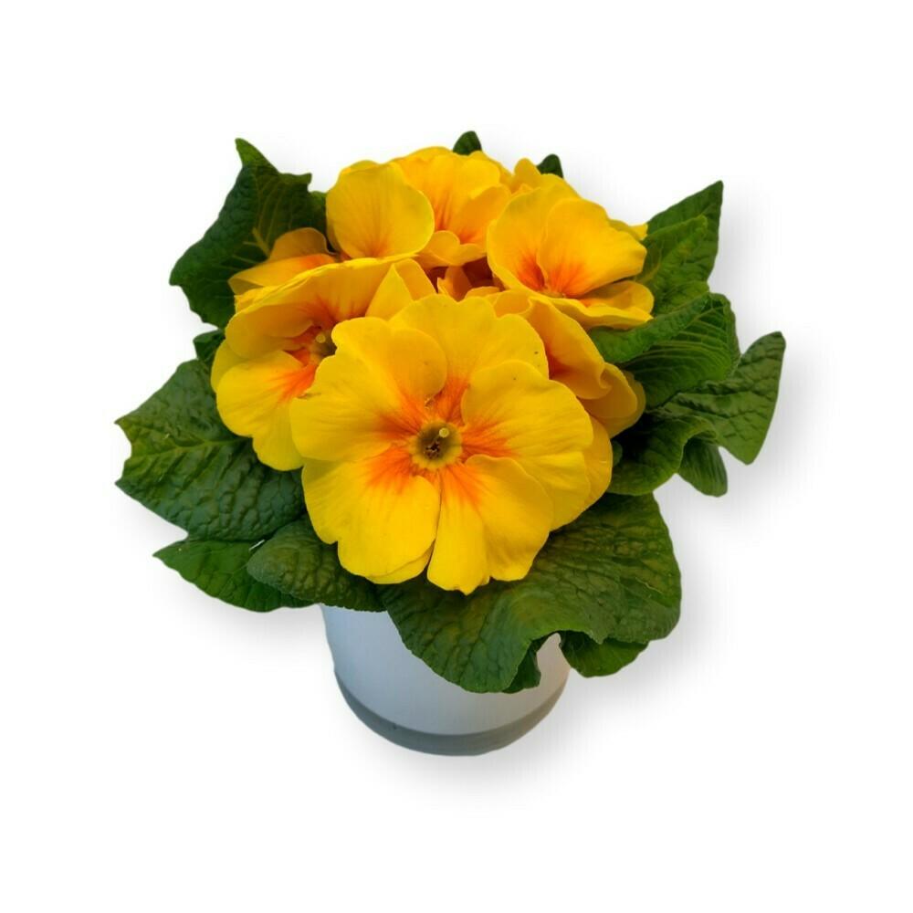 Primeli gelb 'Primula acaulis '