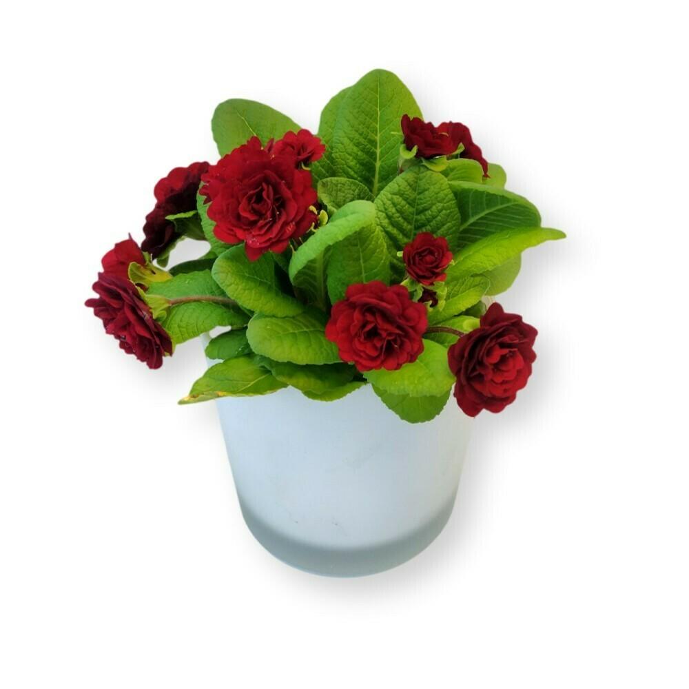 Primeli gefüllt  rot 'Primula acaulis '