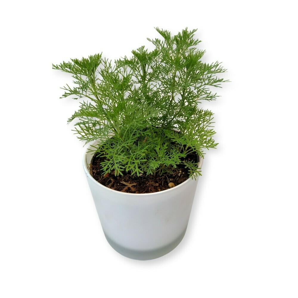 Cola-Krautl 'Artemisia'