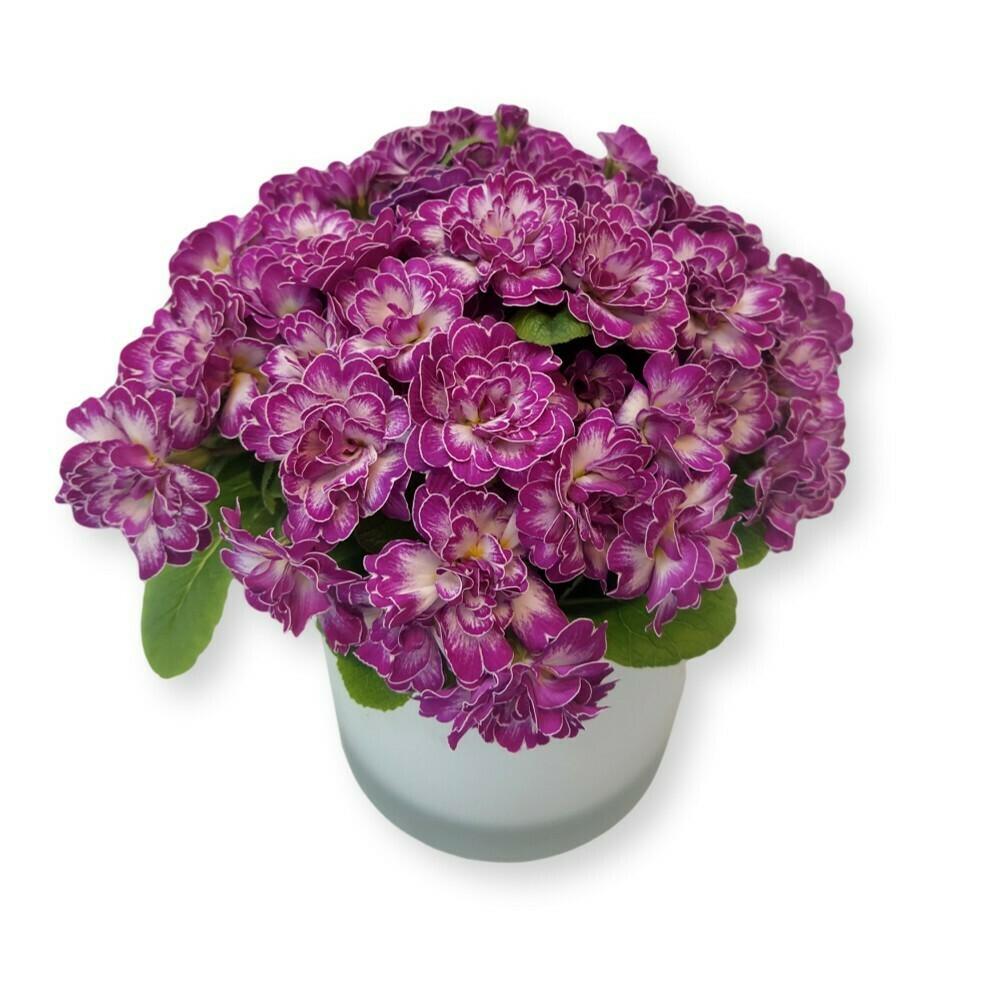 Primeli gefüllt purpur 'Primula acaulis '