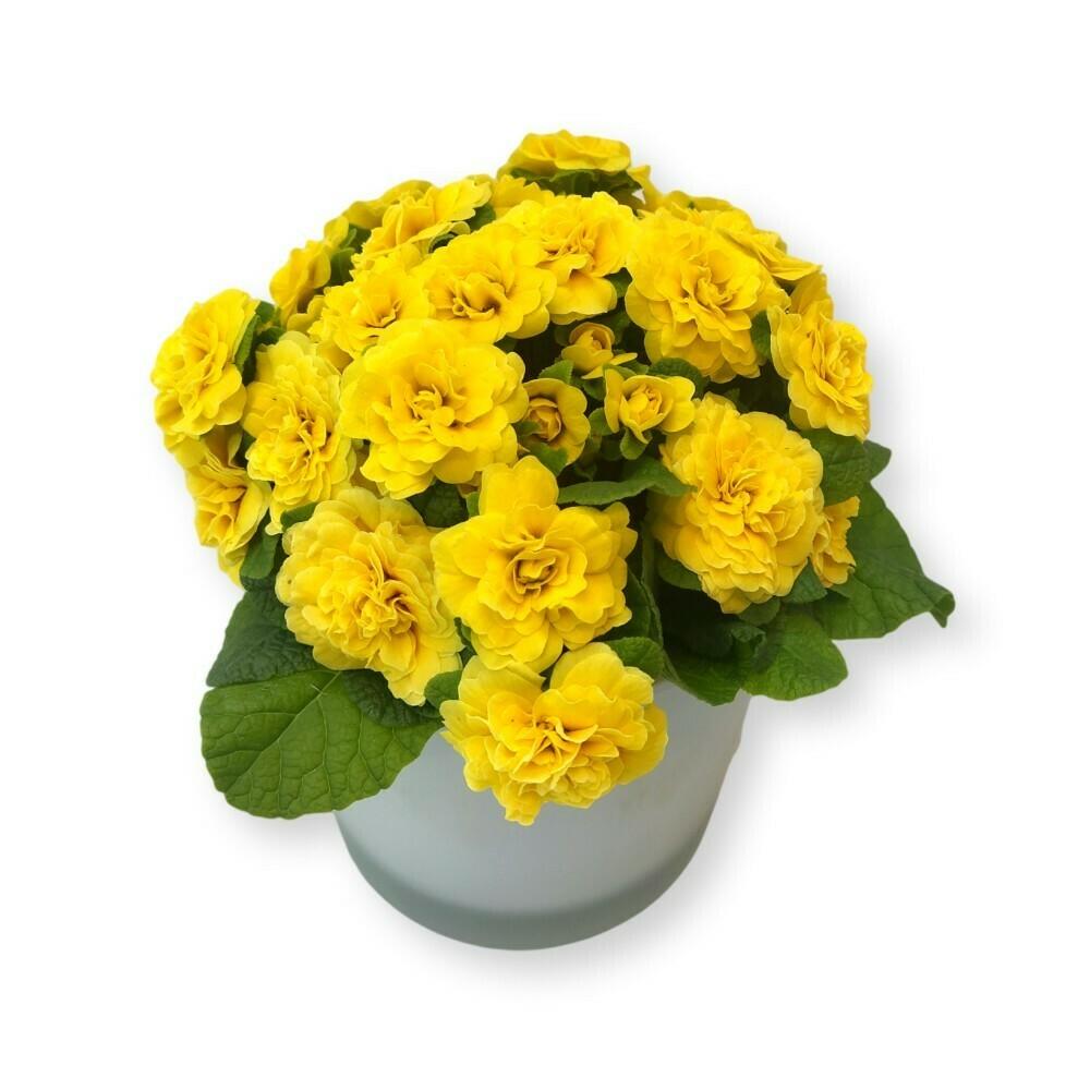 Primeli gefüllt gelb 'Primula acaulis '