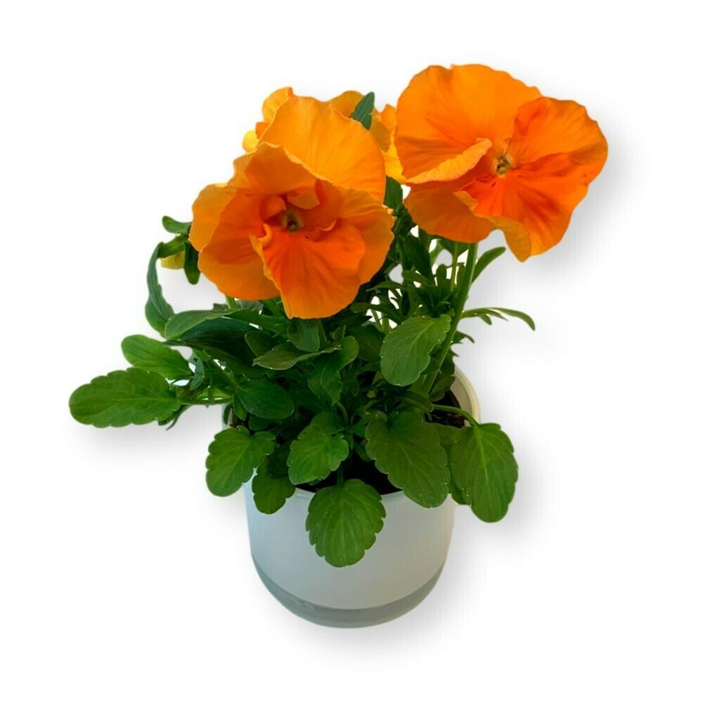Stiefmütterchen orange 'Viola x wittrockiana'