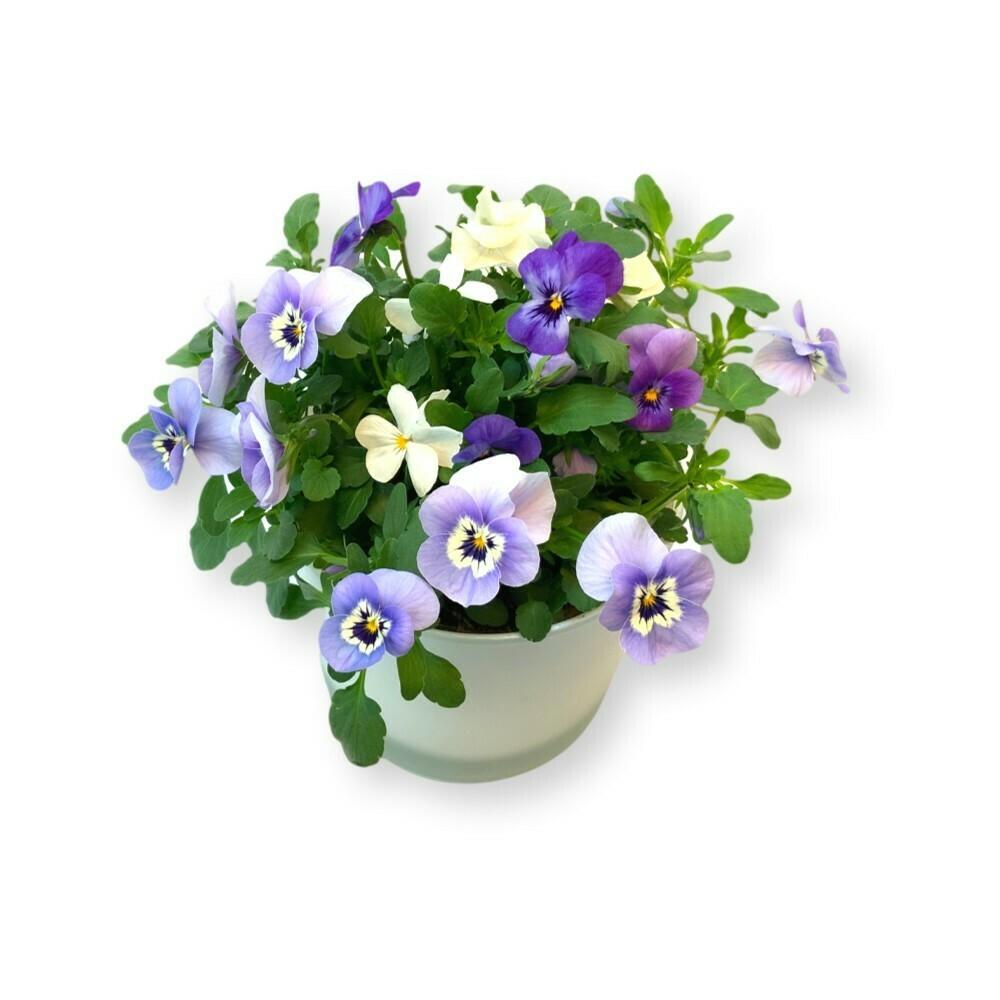 Hornveilchen Mix blau-weiss 'Viola cornuta'