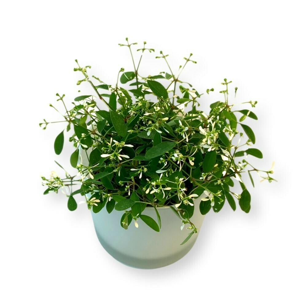 Zauberschnee 'Euphorbia Diamond Frost'