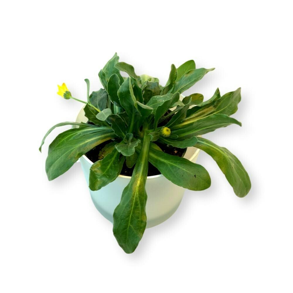 Ringelblume 'Calendula officinalis'