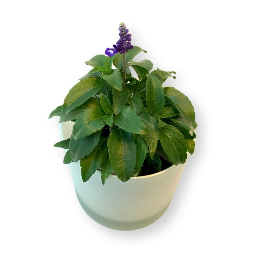 Salbei blau 'Salvia farinacea'