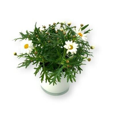 Margeriten weiss 'Leucanthemum'
