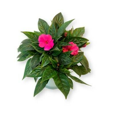 Edellieschen Papete pink 'Impatiens Neuguinea'