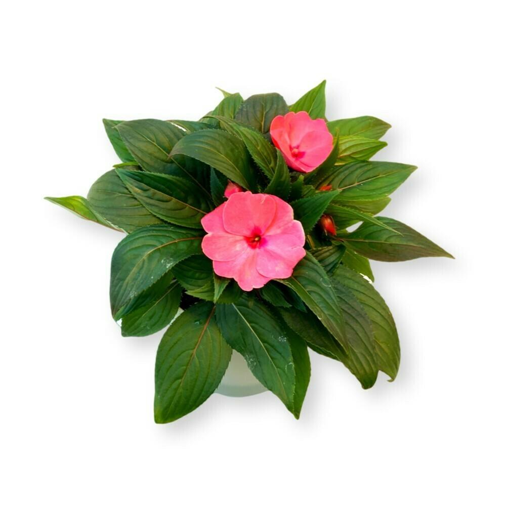 Edellieschen Delias rosa 'Impatiens Neuguinea'