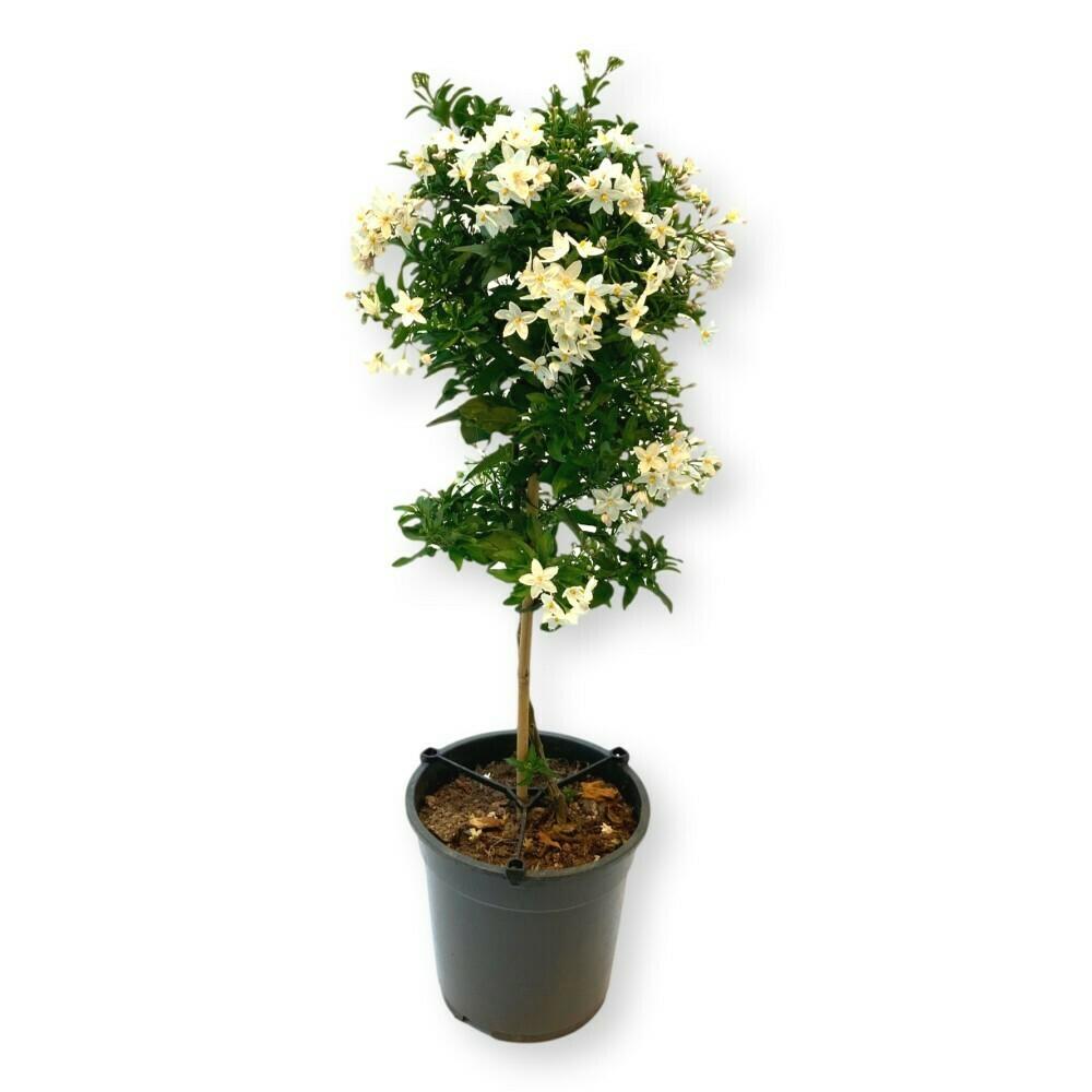 Sommerjasmin Bäumchen weiss 'Solanum jasminoides'