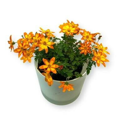 Goldmarie 'Bidens ferulifolia'