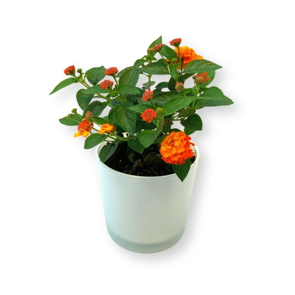 Wandelröschen orange-rot 'Lantana camara'