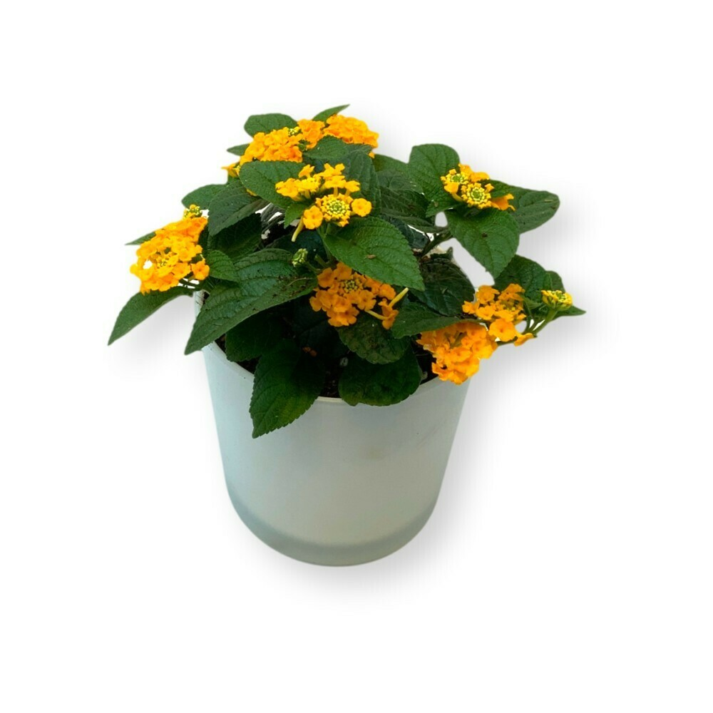 Wandelröschen gelb-orange 'Lantana camara'