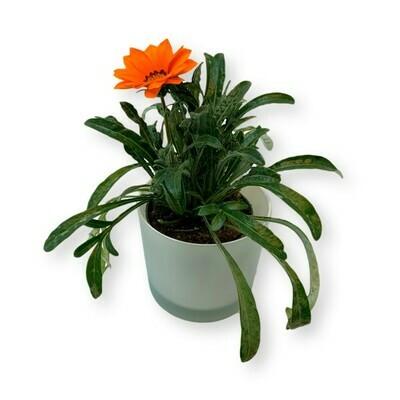Mittagsgold orange 'Gazania Cultivars'