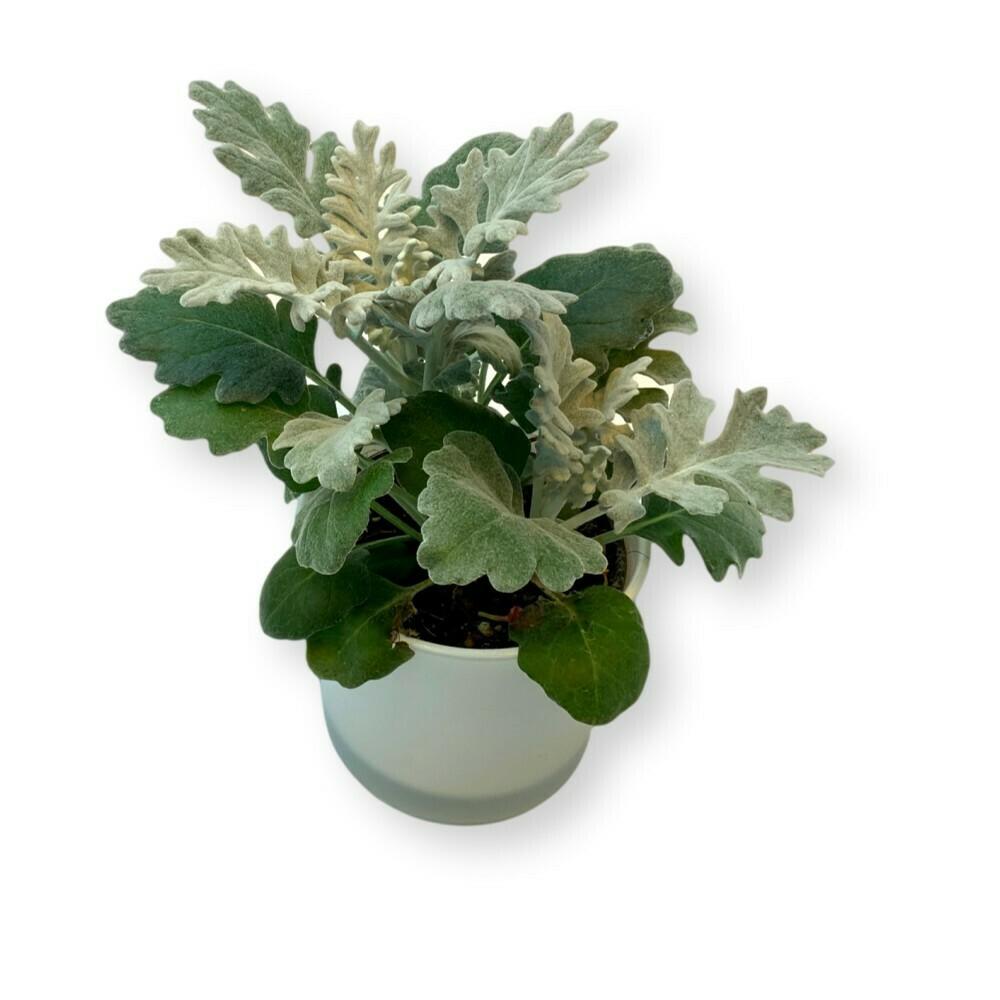 Aschpflanze 'Senecio cineraria'