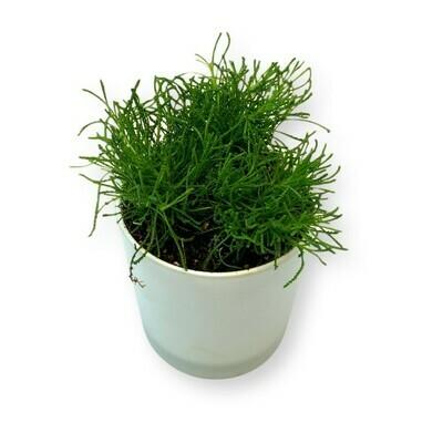 Olivenkraut 'Santolina virens'