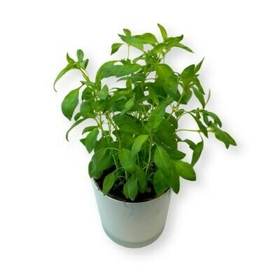 Zitronenbasilikum 'Ocimum basilicum var.citriodorum'