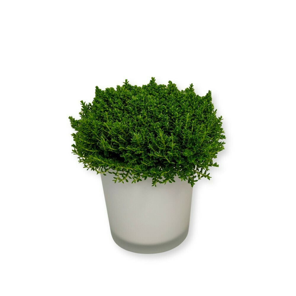Strauchveronika - Hebe Green Globe