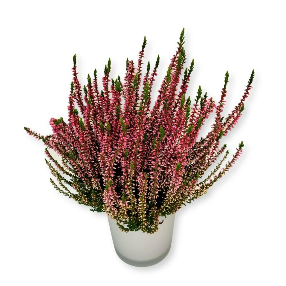 Besenheide - Calluna vulgaris violett
