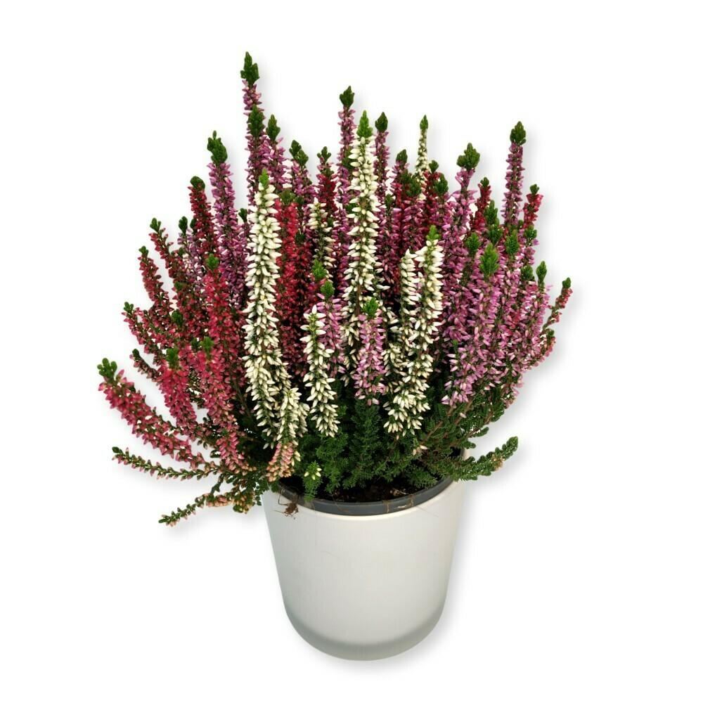 Besenheide - Calluna vulgaris mix
