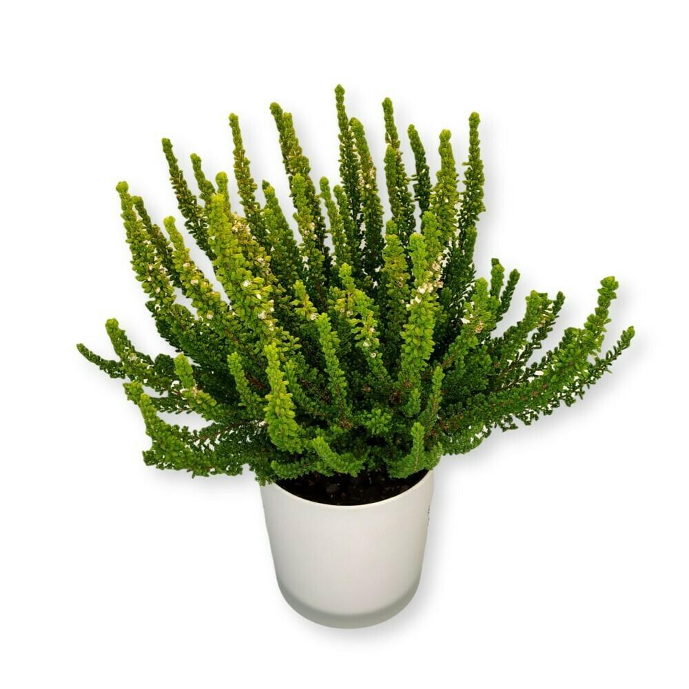 Besenheide - Calluna vulgaris grün