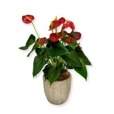 Flamingoblume - Anthurium rot