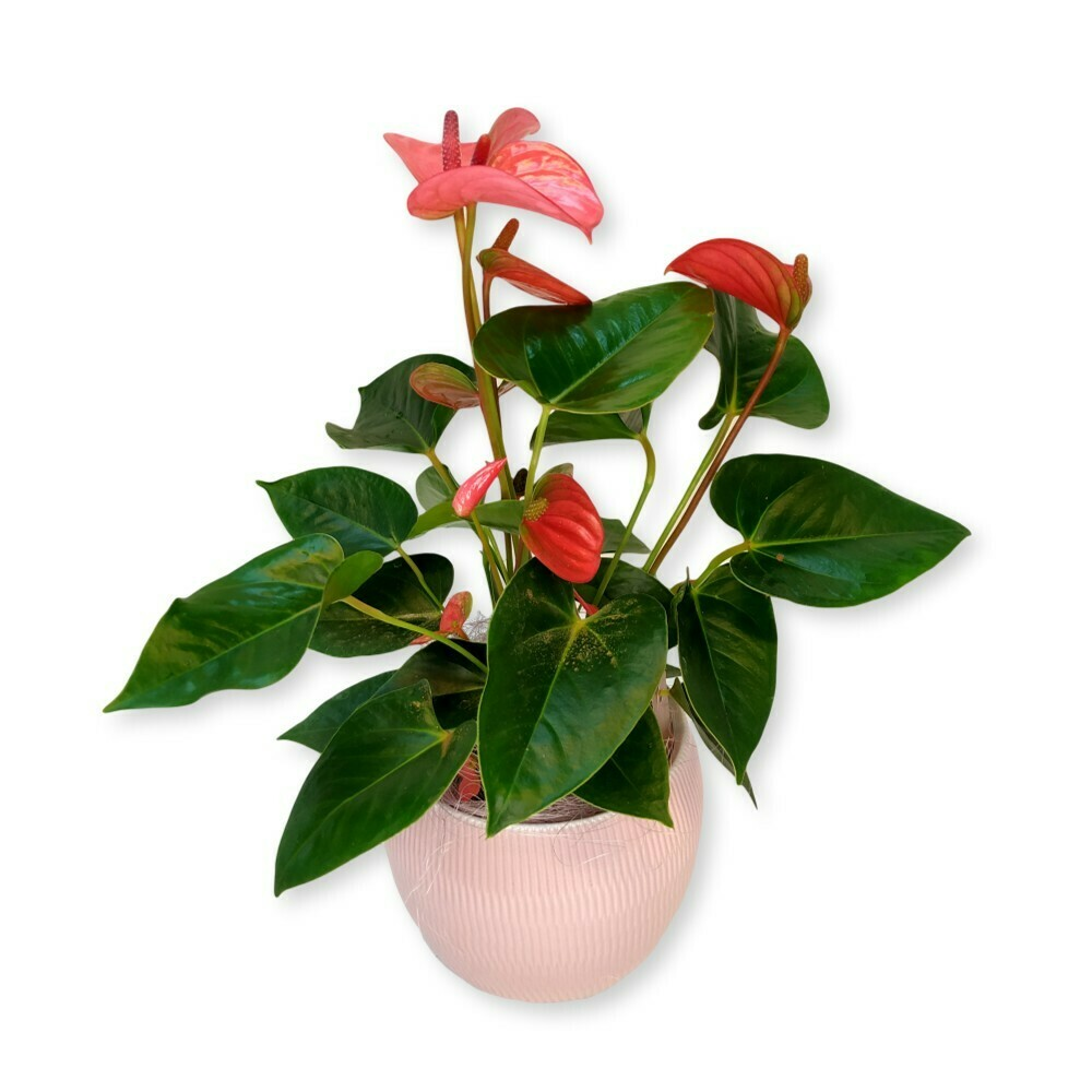 Flamingoblume - Anthurium rosa