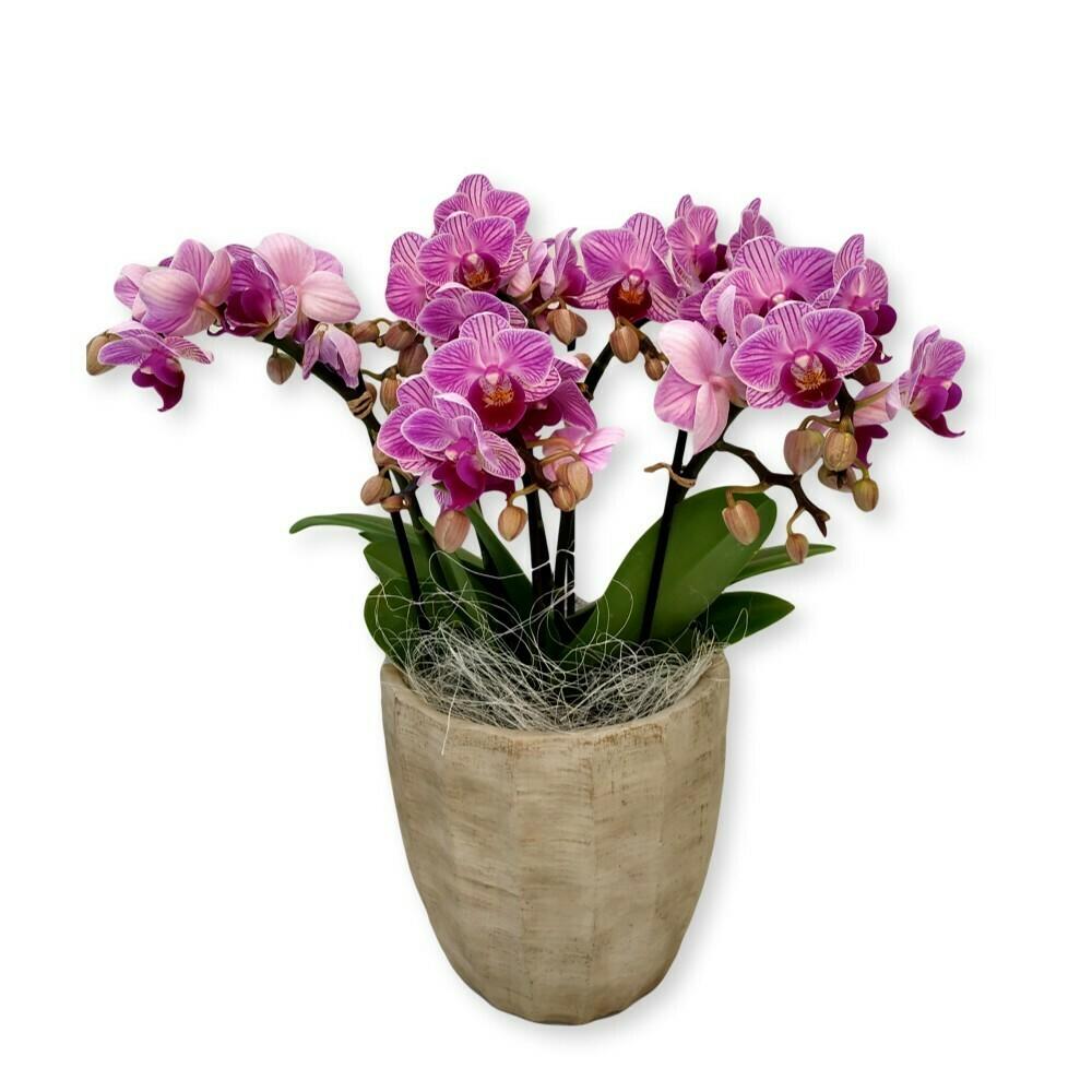 Orchidee pink - Phalaenopsis