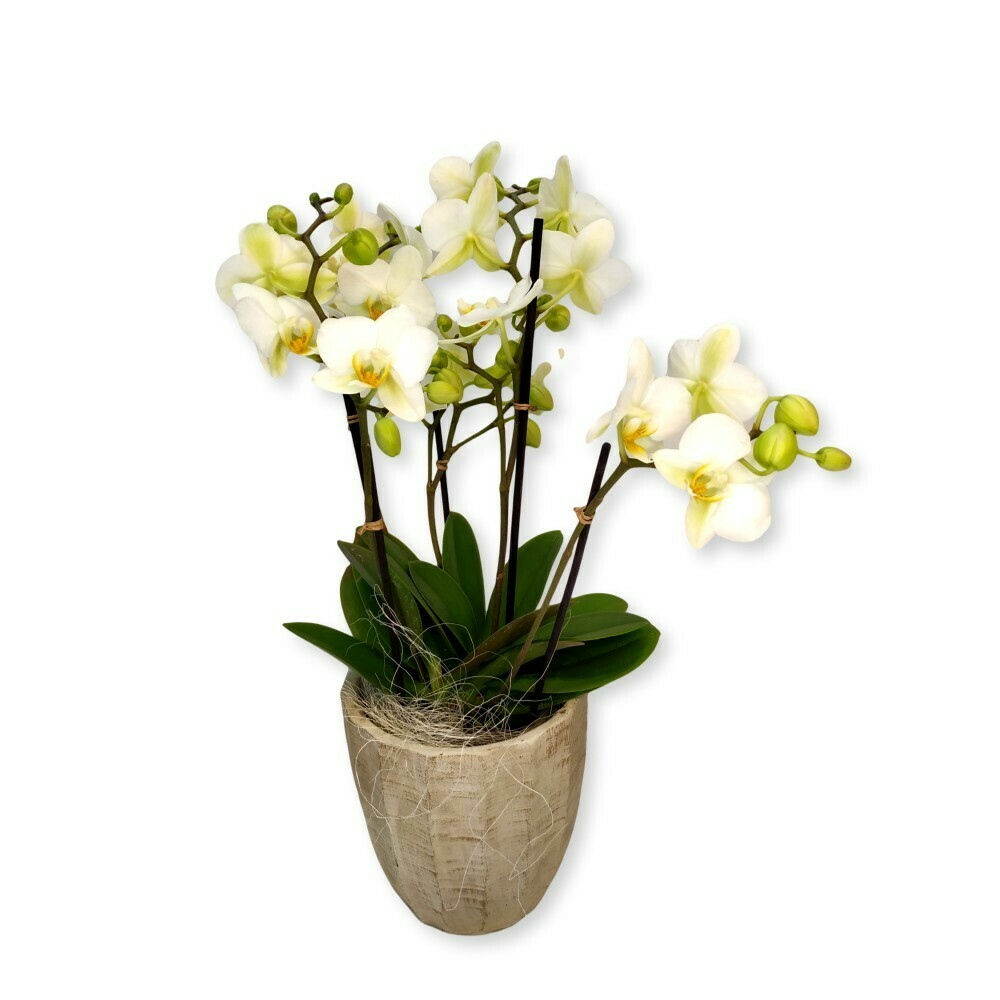 Orchidee weiss - Phalaenopsis