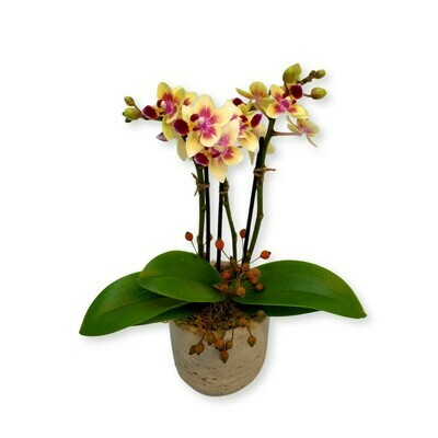 Orchidee gelb - Phalaenopsis