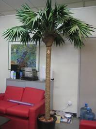 Palm Tree 7 foot