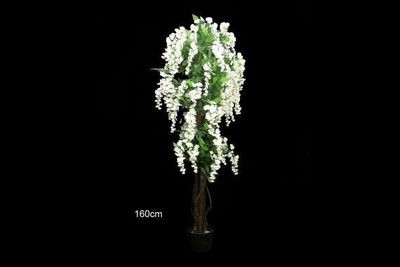 Wisteria tree 1.6m