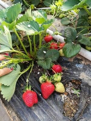 Confiture de fraises bio de chez nous