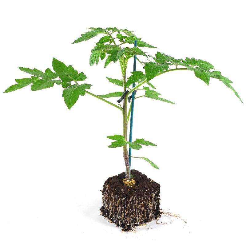 plant de tomate bio - greffé, bon plan