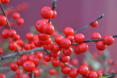 Red Berries - Metal Print 18x12