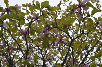 Printed Greeting Card - Magnolia Tree