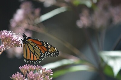 Printed Greeting Card- Monarch Butterfly