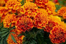 MARIGOLD FLOWER 125 gms
