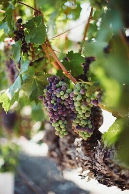Napa & Sonoma Wine Dinner - Sunday