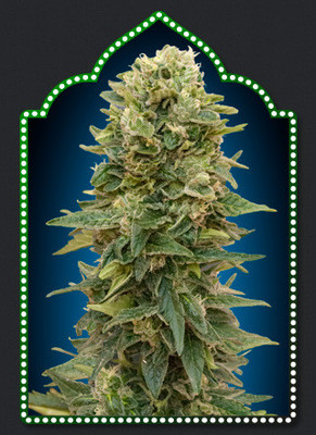 00 Afghan Mass Auto Feminised