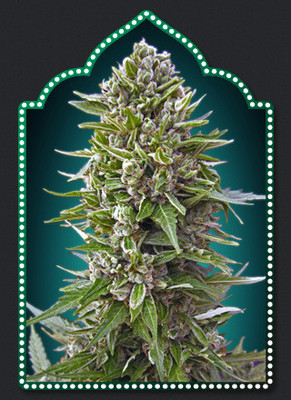 00 Auto Northern Lights Feminised
