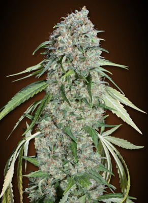 00 Chocolate Skunk CBD Feminised