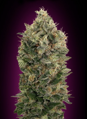 Black Diesel Auto Feminised