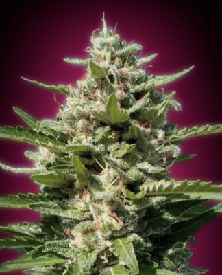 White Kush Feminised