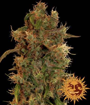 Barneys Farm 8 Ball Kush Feminised