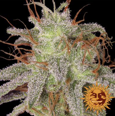 Barneys Farm Amnesia Lemon Feminised