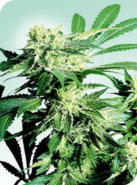 Skunk Kush Regular Seeds