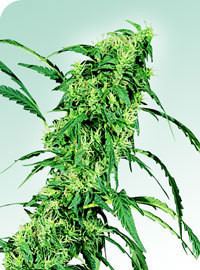 Fruity Juice Regular Seeds