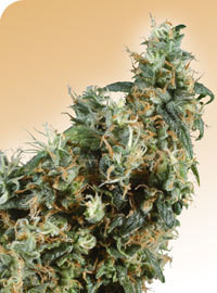 First Lady Regular Seeds